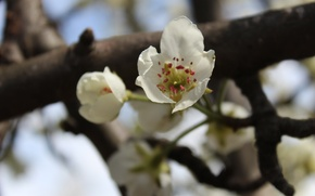 Picture branch, stamens, pear, white flowers, pedicel