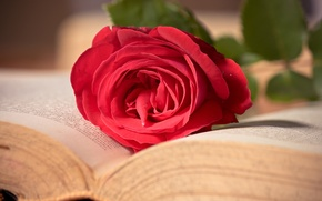 Picture flower, macro, pink, rose, book, red