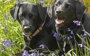 Picture dogs, flowers, bells, a couple, Labrador Retriever