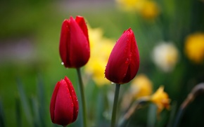 Wallpaper drops, macro, flowers, red, nature, background, focus, Tulips, buds