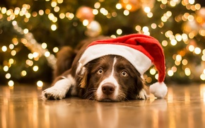 Picture dog, look, New year, Christmas, cap, face