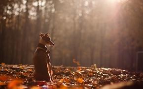 Picture autumn, nature, dog