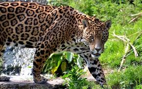 Picture mustache, face, predator, Jaguar, is
