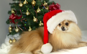 Picture christmas, photo, brown, dog, cute, german, MMaglica photo, MMaglica, spitz, small