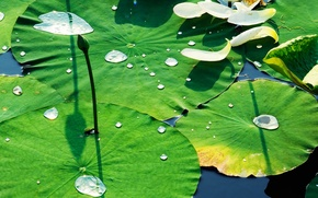 Picture leaves, water, drops, Lily