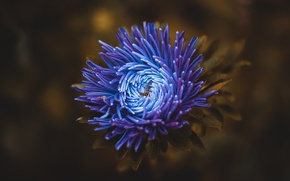 Picture flower, blue, Astra, chrysanthemum