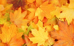 Picture autumn, leaves, bright colors, wilting