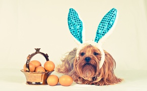 Picture dog, basket, ears