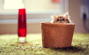 Picture cat, cat, kitty, room, carpet, focus, basket, Daisy