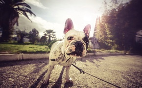 Picture street, dog, pug