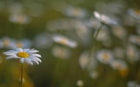 Wallpaper field, flowers, blur, Chamomile, bokeh