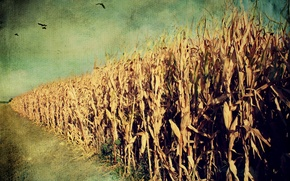 Wallpaper style, background, corn