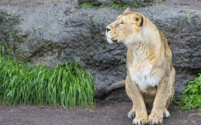 Picture cat, grass, look, lioness, ©Tambako The Jaguar