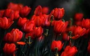 Picture flowers, spring, tulips, red, flowerbed