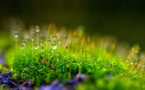 Picture Rosa, bokeh, plant, moss, drops