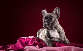 Picture dog, puppy, French bulldog