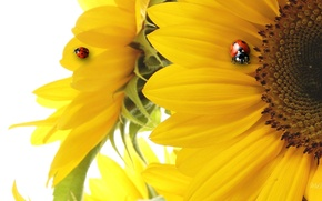 Picture collage, ladybug, sunflower, petals