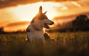 Picture sunset, nature, dog, meadow, The border collie