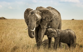 Picture the sky, clouds, horizon, Savannah, elephants, breastfeeding