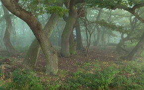 Picture forest, trees, oaks, in the fog, wizards, something, whisper