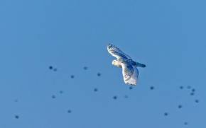 Picture flight, owl, wings, blue sky, snowy owl, wildlife