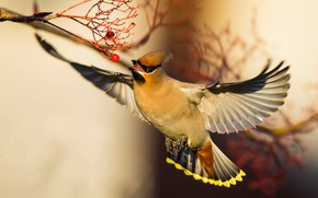 Picture bird, wings, bokeh, the Waxwing