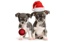 Picture animals, dogs, red, holiday, toy, new year, ball, puppies, pair, small, puppy, white background, Santa, …