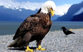 Picture birds, focus, feathers, beak, claws, eagle, crow, size, sharpness