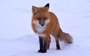 Picture snow, Fox, red