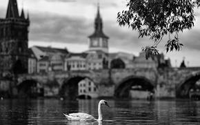 Picture swan, river, bridge