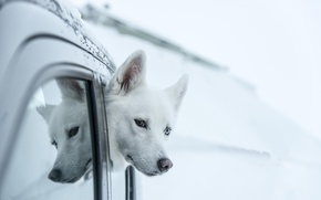 Picture look, each, Husky