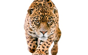 Picture look, face, predator, blur, white background, Jaguar, sneaks, spotted