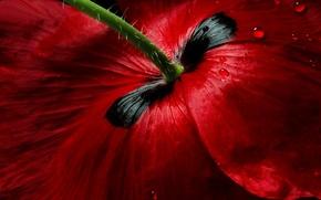 Picture flower, drops, macro, red, Mac, petals, stem