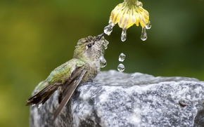 Picture flower, water, drops, nature, bird, stone, Hummingbird