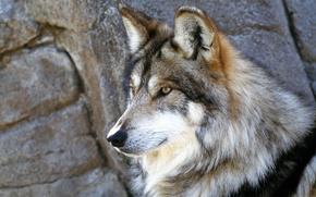 Wallpaper wolf, grey, stones