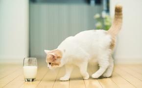 Picture cat, glass, milk, © Ben Torode, Hannah