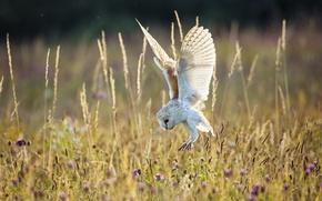 Picture field, summer, nature, owl, bird