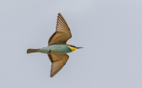 Picture flight, Golden bee-eater, the sky, wings