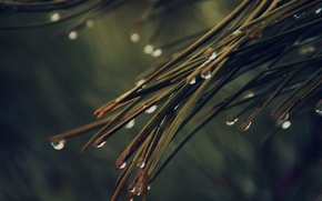 Picture rain, nature, tree, drops, dark green, pine, needles