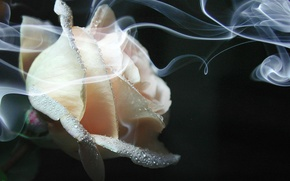 Picture smoke, rose, Flower, cream