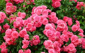 Picture pink, Bush, roses, luxury