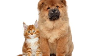 Picture cat, dog, fluffy, Chow Chow