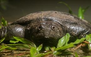 Picture turtle, dogania, Dogania subplana