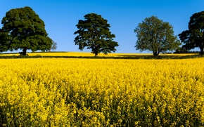 Picture field, trees, flowers, yellow, crown