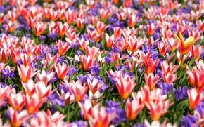 Picture carpet, spring, crocuses, tulips, motley