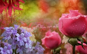 Picture flowers, droplets, roses, dewdrops