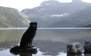 Picture Alberta, Dog, Canada, Border Collie, Waterton, Cameron Lake, Waterton National Park