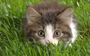 Wallpaper grass, eyes, look, kitty