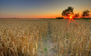 Picture wheat, field, the sun, sunset
