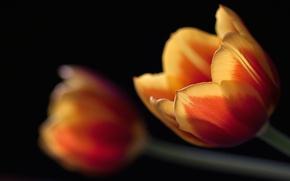 Wallpaper macro, tulips, black
